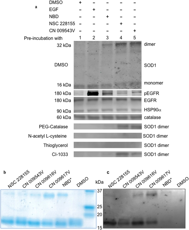Dimerization of SOD1 in cancer cells exposed to lipophilic NBD compounds, and SOD1 exposed to NBD compounds in vitro . ( a ) Western blot analysis of proteins in MDA MB468 cells pre-incubated with NAC (5 mM), PEG-catalase (500 U/ml), thioglycerol (5 mM) or CI-1033 (2 μM) for 30 min, and then exposed to NBD compounds (100 μM) or EGF (500 ng/ml) for 15 min. SOD1 monomers were present in all cells (shown only in cells pre-incubated with DMSO). ( b ) Detection of NBD compounds bound to purified human SOD1 with Coomassie staining. ( c) Fluorescence detection of NBD compound/SOD1 complexes blotted onto NC membrane using a Typhoon 9410 scanner; the excitation wavelength was 488 nm and the emission wavelength was 526 nm.