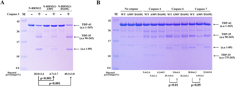TDP-43 D169G mutant is more susceptible to proteolytic cleavage by caspase 3. ( A ) The wild-type, A90V and D169G mutant of TDP-43 (N-RRM12, residues 1–265) were incubated with <t>caspase</t> 3 for two hours. The SDS-PAGE stained with Coomassie blue revealed that TDP-43 was cleaved into TDP-35. Tandem mass spectrometry confirmed that caspase 3 digested N-RRM12 into two major fragments, TDP-35 (residues 90–265), and residues 1–89. ( B ) The wild-type, A90V and D169G mutant of TDP-43 (N-RRM12) were incubated with caspase 4, 6 and 7 for 16 hours. The digested proteins were resolved by 15% Tricine-SDS-PAGE with Coomassie blue staining. The mean percentages with standard errors shown at the bottom of the gel were calculated from three independent experiments. Statistical significance P values were determined by an unpaired two-tailed Student's t -test.