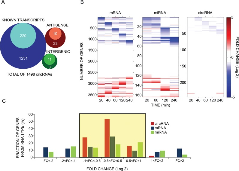 Unlike mRNAs and microRNAs, circular RNAs of mammary cells display minor changes in response to an extracellular cue. ( A ) Venn diagrams presenting genomic origins of circRNAs found in MCF10A mammary cells. The analysis comprises 1498 circRNA molecules we identified in MCF10A cells using RNA-sequencing. Of these, 1451 molecules (97%) overlap known transcripts. The remainder 47 circRNAs are either intergenic (14 transcripts) or antisense to known transcripts ( N = 33). Inner circles represent Quantified fractions, meaning transcripts we followed also by using PCR; For circRNAs derived from known transcripts, the majority ( > 90%) of the Quantified fraction refers to circRNAs, the response of which to EGF was assayed using divergent and convergent sets of primers, while for the remainder of the Quantified fraction, including circRNAs derived from either antisense or intergenic regions, measurements were performed using only divergent sets of primers. ( B ) MCF10A human mammary epithelial cells were starved overnight for serum factors. Thereafter they were treated with EGF (10 ng/ml) for the indicated time intervals. High-throughput PCR and specific primers were applied on isolated RNA samples to amplify 241 of 1498 circRNA species previously identified using RNA sequencing. This group included > 50% of the most abundant candidates, along with dozens of other circRNAs with varying expression levels. The presented heatmap (right panel) depicts time-dependent alterations in expression levels of specific circRNAs. These alterations are compared to mRNA and microRNA alterations we previously observed, using microarrays, while stimulating MCF10A under identical conditions ( 5 , 36 ). Note that all previously analyzed miRNAs are represented, but in order to match the size of the circRNA population, only randomly selected, 16.1% of all MCF10A's mRNA molecules, are depicted in the heatmap. Data were normalized to time zero and ordered according to the time point corresponding