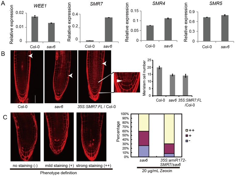 Elevated SMR7 expression in sav6 may affect RAM development. ( A ) qRT-PCR results showing the relative expression (normalized using the reference gene) of WEE1, SMR4, 5 and 7 in Col-0 and sav6 ( n = 3). ( B ) SMR7 -overexpression leads to reduced RAM size. Left panel: representative figures of PI-stained Col-0, sav6 and 35S:SMR7:3XFLAG root tips (arrowheads mark the RAM upper border); the arrowhead in the inset marks the QC cells; right panel: number of cortex cells in the RAM ( n ≥ 11); scale bars represent 50 μM. ( C ) Knocking down the expression of SMR7 in sav6 increases the susceptibility of the transgenic line ( 35S:amiR172-SMR7/sav6 ) to Zeocin. Dead cells were detected by PI staining. Left panel: examples of no staining (-), mild staining (+) and strong staining (++); right panel: percentage of cells in each category. The experiment was repeated three times in total and similar patterns were observed each time. Error bars represent the SEM.