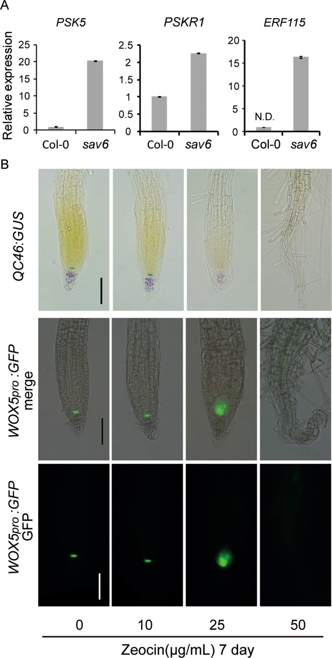 QC defects of sav6 correlates with elevated ERF115 and PSK5 signalling. ( A ) qRT-PCR results showing the elevated expression of PSK5, PSKR1 and ERF115 in root tips of seedlings grow in Wc for 3 days. As the expression of ERF115 was not detected in Col-0, the relative expression of ERF115 to the reference gene is shown here. N.D.: not detected. Error bars represent the SEM ( n = 3). ( B ) Long exposure to Zeocin abolished the expression of QC marker genes. QC46:GUS and WOX5 pro :GFP transgenic lines were sown and grown on \documentclass[12pt]{minimal} \usepackage{amsmath} \usepackage{wasysym} \usepackage{amsfonts} \usepackage{amssymb} \usepackage{amsbsy} \usepackage{upgreek} \usepackage{mathrsfs} \setlength{\oddsidemargin}{-69pt} \begin{document} }{}$\frac{1}{2}$\end{document} MS medium supplemented with various concentrations of Zeocin for 7 days. GUS expression and GFP signals in root tips are shown. Scale bars represent 100 μM.