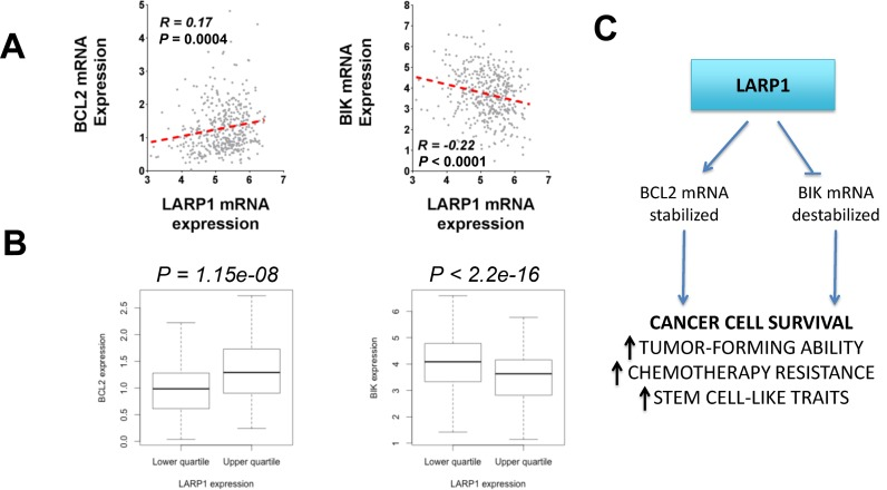 LARP1 expression in ovarian tumors correlates with BIK and BCL2 expression. ( A ) Correlation of mRNA expression (Log 2 RPKM) in ovarian tumors ( n = 412) between LARP1 and BCL2 or BIK (Pearson R). Data from TCGA Ovarian RNAseq cohort (tcga-data.nci.nih.gov). ( B ) Comparison of upper and lower quartiles of LARP1 expression (Log 2 RPKM, n = 103 in each), by BCL2 or BIK expression (Wilcoxon test). Data as before. ( C ) A summary of the role of LARP1 in the ovarian cancer cell. As a component of mRNP complexes containing transcripts of survival-associated genes, LARP1 acts to simultaneously stabilize anti-apoptotic mRNAs, whilst destabilizing pro-apoptotic transcripts. The net effect is to promote apoptosis evasion, enhancing tumorigenicity, chemoresistance and cancer stem cell (CSC)-like traits.