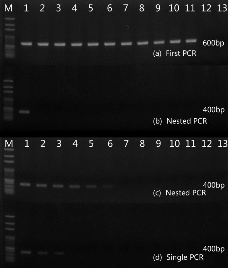 Specificity and sensibility of nested PCR. A 600-bp PCR product were amplified from all fungal samples (a) and a 400-bp PCR product was amplified from T . marneffei samples (b). M, 100-bp-ladder DNA; Lane1 to 13, T . marneffei , Aspergillus flavus , Aspergillus fumigatus , Aspergillus niger , Cryptococcus neoformans , Candida albicans , Candida krusei , Fonsecaea pedrosoi , Fonsecaea monophora , Histoplasma capsulatum , Paracoccidioides brasiliensis , Negative control (mice DNA), Negative control (water) respectively. Sensitivity of nested PCR (c) and single PCR (d) was 8.4×10 4 and 8.4×10 7 fg/μl, respectively. M, 100-bp-ladder DNA; lanes 1 to 13, 8.4×10 9 , 8.4×10 8 , 8.4×10 7 , 8.4×10 6 , 8.4×10 5 , 8.4×10 4 , 8.4×10 3 , 8.4×10 2 , 8.4×10 1 , 8.4×10 0 , 8.4×10 −1 , 8.4×10 −2 , 8.4×10 −3 f g /μl, respectively.