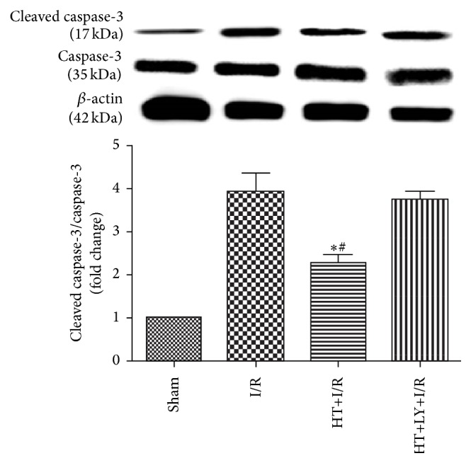 HT decreased cleaved caspase-3 expression as compared with expression levels in the I/R group and the HT+LY+I/R group ( n = 4 for each group). Data are presented as means and SEM. ∗ P