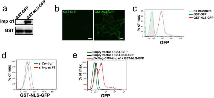 Importin α1 on the cell surface is functional. ( a ) Either GST-GFP or GST-NLS-GFP (50 pmol each) was incubated with 50 pmol of 3 × Flag-tagged importin α1 immobilized on glutathione beads. The bound proteins were analysed using immunoblotting with an anti-importin α1 or an anti-GST antibody, respectively. ( b ) Live HCT116 cells were incubated with GST-GFP or GST-NLS-GFP (1 μg/ml) for 1 h on ice, and we then observed fluorescence after fixation. Representative cells are shown. Scale bars: 10 μm. ( c ) Live HCT116 cells were treated with GST-GFP or GST-NLS-GFP (1 μg/ml) for 1 h on ice, and subjected to a flow cytometric analysis. ( d ) HCT116 cells transfected with control or importin α1 siRNAs, followed by treatment with GST-NLS-GFP (100 ng/ml) for 1 h on ice, and subjected to a flow cytometric analysis. ( e ) HCT116 cells were transfected with the empty vector (mock) or Flag-tagged importin α1 expression vector, followed by treatment with GST-GFP or GST-NLS-GFP (100 ng/ml) for 1 h on ice, and subjected to a flow cytometric analysis.