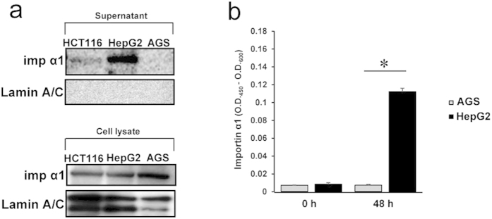 Importin α1 is released into the extracellular milieu by cell surface importin α1-positive cancer cells. ( a ) Subconfluent cancer cells were incubated with fresh medium. After 48 h, supernatants (upper panel) and lysates (lower panel) of cultured cancer cell lines were collected. Immunoblot analysis were performed using antibodies to importin α1 or Lamin A/C (as control). ( b ) Free importin α1 levels in the conditioned medium of cancer cell lines (HepG2 and AGS) were determined using ELISA. Data are means ± SD from three independent experiments. * P
