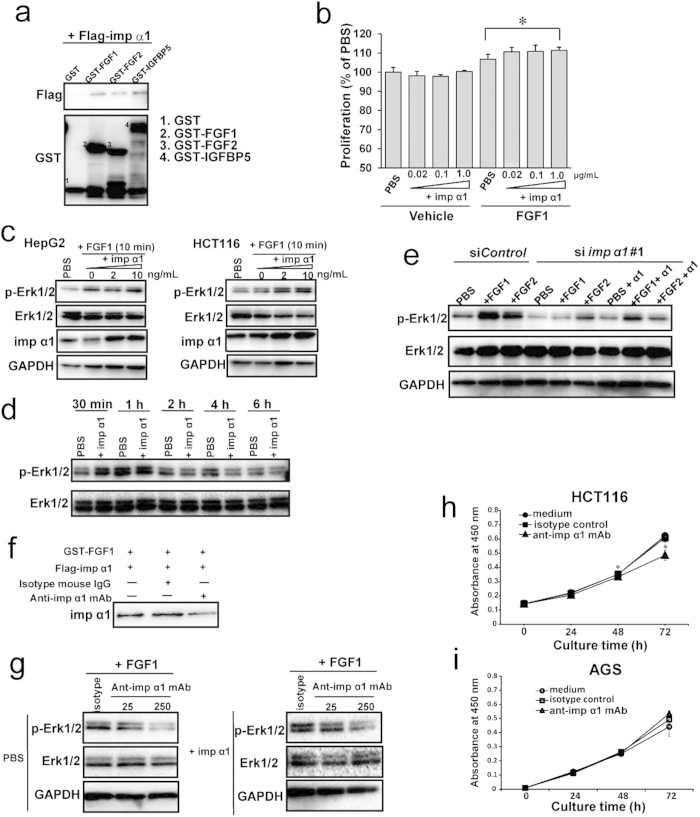 Extracellular importin α1 affects cell proliferation via interaction with FGF1 ( a ) GST, GST-FGF1, GST-FGF2, or GST-IGFBP5 (50 pmol) were incubated with 3 × Flag-importin α1 (50 pmol) immobilized on glutathione beads, and subjected to immunoblot analysis with the indicated antibodies. ( b ) Starved HCT116 cells were incubated in PBS or FGF1 (20 ng/ml) in the presence or absence of recombinant importin α1 at the indicated concentrations for 48 h. Cell proliferation was measured using Cell Counting Reagent. Data are means ± SD from three independent experiments. * P
