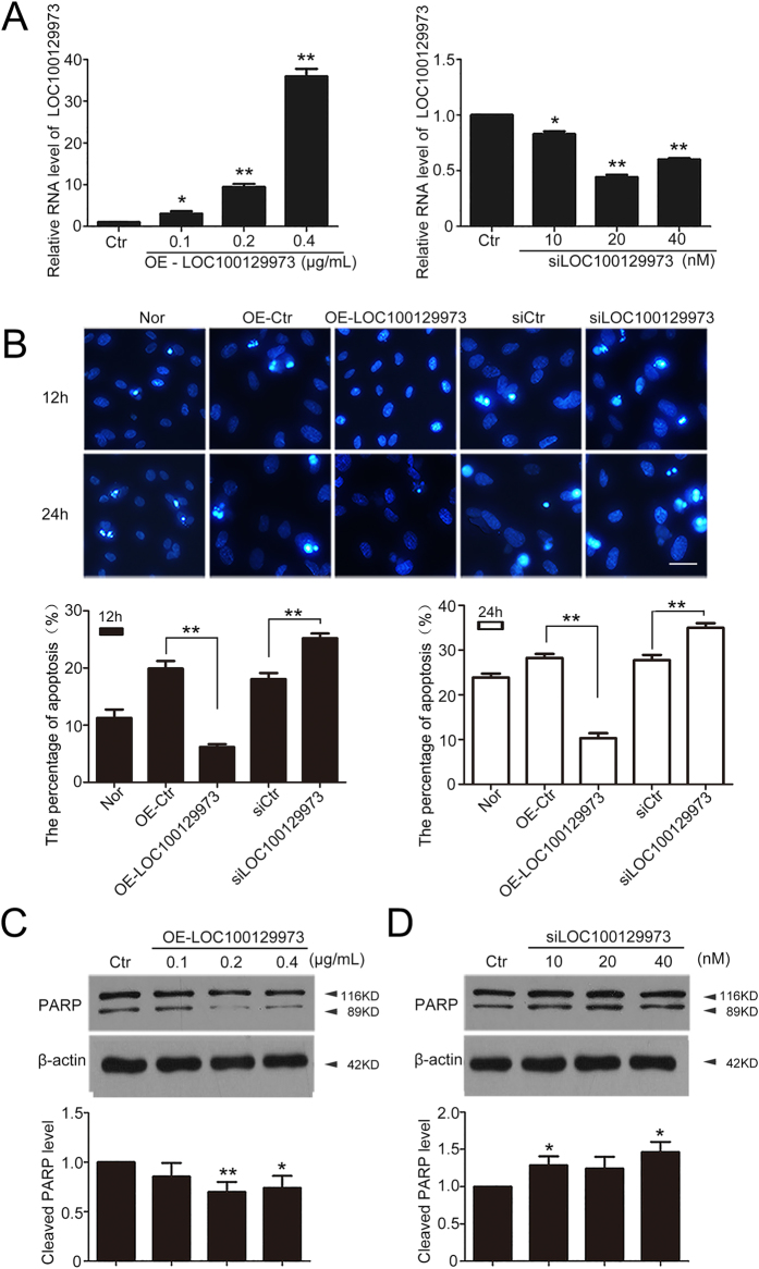 LncRNA L OC100129973 suppressed the serum and FGF-2 starvation-induced apoptosis in HUVECs. ( A ) Quantified real-time PCR analysis of lncRNA LOC100129973 overexpression and knock down efficiency. HUVECs were transfected with pcDNA3.1- LOC100129973 at 0.1, 0.2, 0.4 μg/mL or si LOC100129973 at 10, 20, 40 nM for 24 h and then starvation for another 24 h. ( B ) Hoechst 33258 staining of apoptotic HUVECs. Nor: M199 medium (with FGF-2 and serum); OE-Ctr: transfected with pcDNA3.1-empty vector; OE- LOC100129973 : transfected with pcDNA3.1- LOC100129973 at 0.2 μg/mL; siCtr: transfected with scramble RNA for negative control; si LOC100129973 : transfected with si LOC100129973 at 40 nM. After being transfected for 24 h, all the cells described above were deprived of serum and FGF-2 for another 12 or 24 h. Scale bar: 10 μm. Images are representative of at least 3 independent experiments. The percent of apoptosis was measured (%). ( C , D ) Western blot analysis of cleaved PARP protein level. HUVECs were transfected with pcDNA3.1- LOC100129973 at 0.1, 0.2, 0.4 μg/mL or si LOC100129973 at 10, 20, 40 nM for 24 h and starvation for another 24 h. The level of cleaved PARP was relative to that of β-actin. (Cropped, full-length blots are in Supplementary Fig. S4 ) Data are mean ± SEM. of three independent experiments. *P