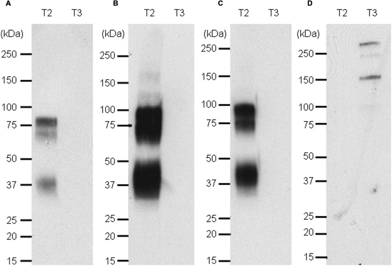 Western blot of targets 2 and 3 revealed with naked anti target 2 mAb and an anti-human kappa light chain-HRP secondary antibody (A), the Nluc fused to anti-target 2 antibody (B), the scFv-Nluc version of the anti-target 2 antibody (C) and an anti-target 3 scFv-Nluc (D). Membrane A labeling was revealed with ECL blotting substrate, while membranes (B–D) labeling was revealed with furimazine diluted 1000 fold in PBS, 0.1% BSA.