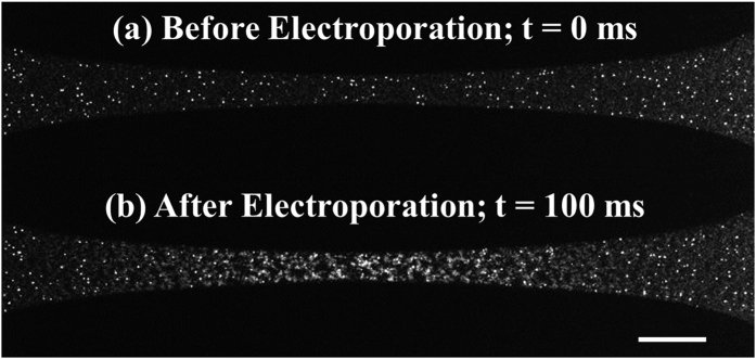 Fluorescent images for detection of boundary between electroporated and non-electroporated bacteria. Fluorescent images ( a ) before and ( b ) after delivering a 1.8-kV exponentially decaying ( t = 1.0 ms; τ = 5.0 ms) pulse in 0.01× phosphate buffered saline (PBS) buffer (PBS diluted 100 times in DI water) and 5 μM SYTOX ® Green nucleic acid stain to C. <t>glutamicum</t> bacteria (scale bar = 200 μm).