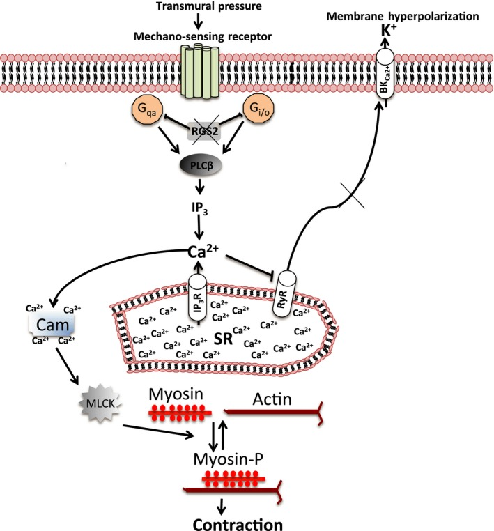 A model summarizing smooth muscle signaling pathways that are regulated by RGS 2 to control uterine artery myogenic tone. Under conditions where RGS 2 is absent or deficient, G protein activation by mechanosensation leads to a sustained phospholipase C ( PLC )‐mediated Ca 2+ release from the sarcoplasmic reticulum ( SR ), which increases cytosolic Ca 2+ concentration and activates Ca 2+ ‐Cam/ MLCK ‐mediated smooth muscle contraction. High cytosolic Ca 2+ due to the absence/deficiency of RGS 2 also inhibits SR Ca 2+ release via ryanodine receptors (RyR), which normally inhibits contraction by promoting membrane hyperpolarization. Cam, calmodulin; MLCK , myosin light‐chain kinase; BK C a 2+ , Ca 2+ ‐activated potassium channel; myosin‐P, phosphorylated myosin.