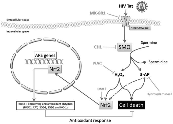 Proposed model of the role of NMDAR-elicited SMO activation in the Tat-induced Nrf2 pathway. On the one hand, HIV-1 Tat induces neuronal cell death through the production of H 2 O 2 and 3-AP by a mechanism involving NMDAR-induced SMO activation. On the other hand, the same pathways are able to trigger an antioxidant response through the transcriptional induction of Nrf2-dependent ARE genes. For more details see text. Abbreviations: 3-AP, aldehyde 3-aminopropanal; ARE, antioxidant-response element; CAT, catalase; CHL, Chlorhexidine digluconate; DMF, dimethyl fumarate; H 2 O 2 , hydrogen peroxide; HIV, human immunodeficiency virus; NQO1, NAD(P)H:quinone oxidoreductase type 1; HO, heme-oxygenase; NAC, N-acetylcysteine; NMDA, N-methyl-D-aspartate; Nrf2, nuclear factor erythroid 2-related factor 2; SMO, spermine oxidase; SOD, superoxide dismutase.