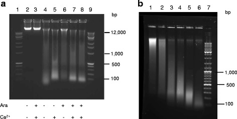 Analysis of the DNA fragments from in vivo MNase digestion of nucleoid in wild type E. coli ( a ) and in vitro MNase digestion of purified genomic DNA ( b ) in agarose gel. a Wild type cells with the empty vector (lanes 2, 3) and MNase-expressing vector (lanes 4-8) were supplemented with arabinose (lane 6), CaCl 2 (lane 5) or both (lanes 3, 7, 8). Digestion reactions were stopped 1 minute (lane 7) or 5 minutes (lanes 3, 5, 8) after CaCl 2 was added. Lanes 1 and 9 show DNA molecular weight marker. b Lane 1, purified wild type genomic DNA; lanes 2-6, a time course of in vitro MNase digestion of the wild type genomic DNA; lane 7, DNA molecular marker