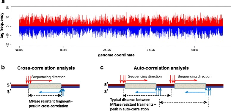 Genome-wide distribution of sequenced tags. a Tag frequencies for the entire E. coli genome. Frequencies of tags mapped on the positive and negative strands are shown with red and blue bars respectively. a , c Schematic illustrations of tag cross-correlation ( b ) and auto-correlation analyses ( c ). MNase resistant fragments are shown with grey rectangles. Vertical red and blue arrows represent 5'-ends of the digestion fragments mapping to the DNA positive and negative strands respectively