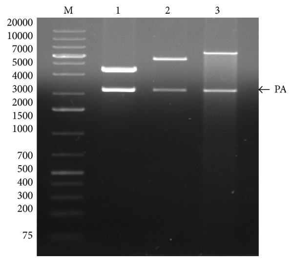 Restriction digestion of three different PA constructs. M, DNA marker; lane 1, PA-pQE30 digested with restriction enzymes Bam HI/ Kpn I; lane 2, PA-pPROEXHTa digested with restriction enzymes Bam HI/ Xho I; lane 3, PA-pET32c digested with restriction enzymes Bam HI/ Sal I.