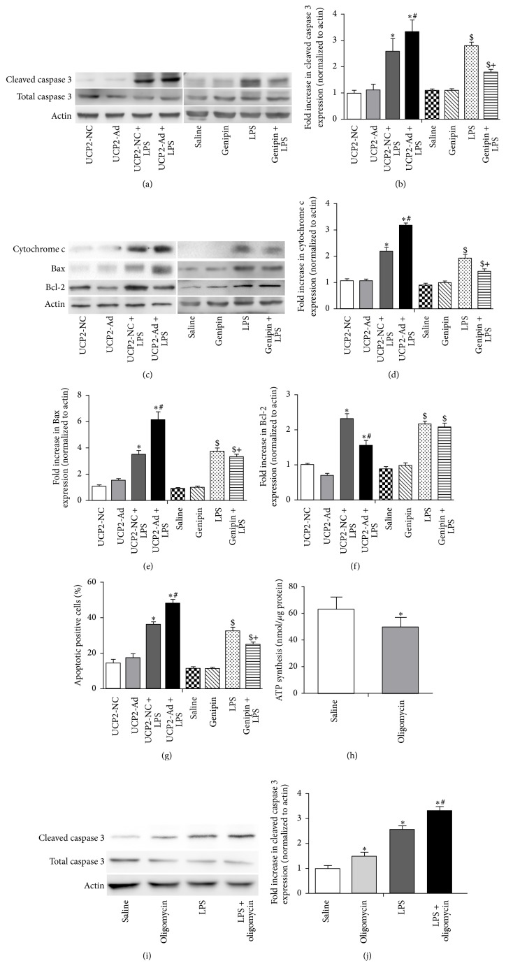 UCP2 enhanced DNA damage and increased caspase-3 cleavage, cytochrome c release, and proapoptotic Bax protein expression but reduced Bcl-2 expression. (a) Western blot showed the expression of cleaved and total caspase-3 from lung tissues of mice in each group. (c) Western blot analysis detected the expression of Bcl-2, Bax, and cytochrome c protein in each group. (b, d–f) Densitometric analysis of these proteins immunoreactive bands is shown as fold difference normalized to actin expression. (g) The percentage of apoptotic positive cells was detected by the TUNEL assay. (h) The mitochondrial ATP levels were measured by a luciferase-based assay after oligomycin (1 mg/kg) preinjection in mice. (i) Western blot analysis detected the expression of cleaved and total caspase-3. (j) Densitometric analysis of cleaved caspase-3 proteins immunoreactive bands is shown as fold difference normalized to actin expression. ( ∗ P