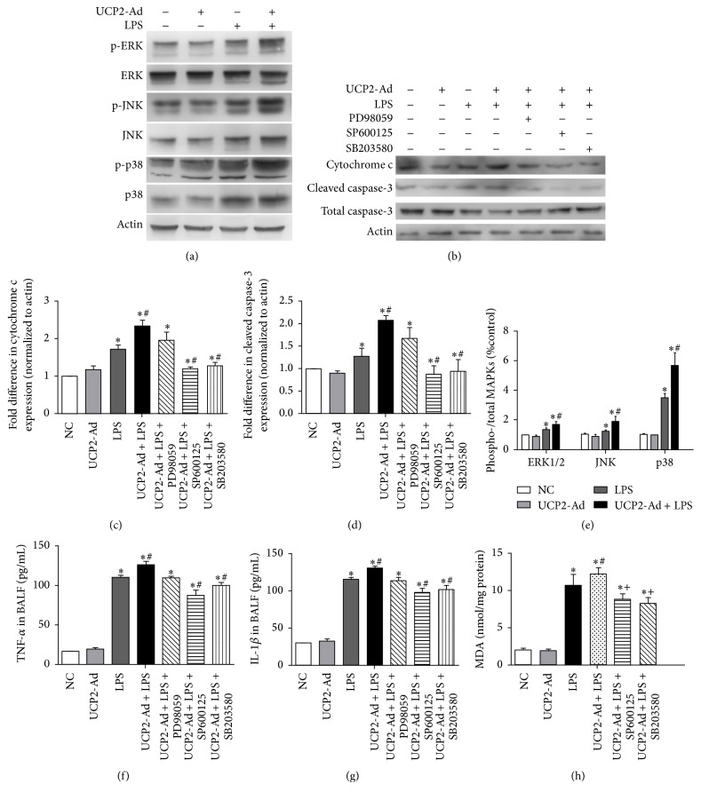 UCP2-induced inflammation in LPS-induced ALI is mediated by JNK and p38 MAPK pathway. (a) Western blot detected the expression of ERK, JNK, and p38 MAPKs and their phosphorylated protein in lung tissue after LPS-induced injury. (b) Western blot detected cytochrome c and caspase-3 expression after inhibition of UCP2-induced activation of MAPK signaling pathways by the inhibitors of specific MAPK signaling pathways, respectively. (c-d) Quantification of cytochrome c and caspase-3 immunoreactivity using Western blot analysis. (e) Quantification of the phosphorylated protein p-ERK, p-JNK, and p-p38 shown in graphs using densitometric analysis. (f) The levels of TNF- α in BALF were measured by ELISA. (g) The levels of IL-1 β in BALF were measured by ELISA. (h) The levels of ROS in lung were detected by MDA assay ( ∗ P
