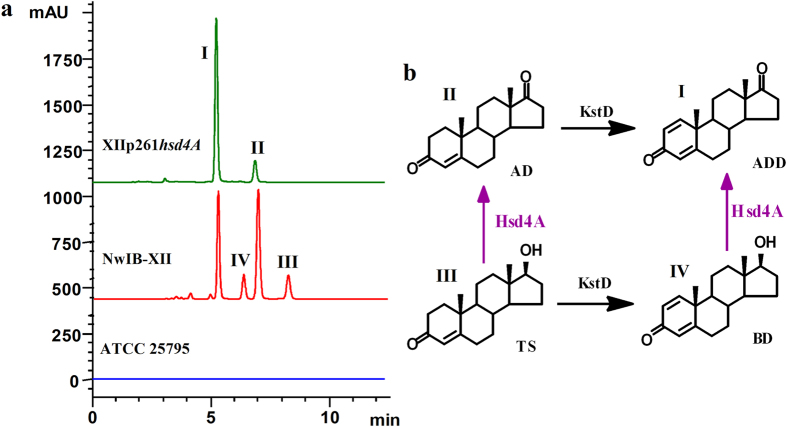 Phenotypic analyses of the metabolism of sterol by M. neoaurum ATCC25795 and its derivative strains. ( a ) HPLC chromatogram comparison of the products from the transformation of 2 g/l of cholesterol in MYC/02 media at 30 °C by strains M. neoaurum ATCC 25795 (blue), NwIB-XII (red) and XIIp261 hsd4A (green). Cholesterol can be completely degraded by M. neoaurum ATCC 25795 without obvious accumulation of intermediates. The catabolism of cholesterol in NwIB-XII was blocked to accumulate multiple metabolites, including ADD (I), AD (II), TS (III) and BD (IV). The plasmid pMV261- hsd4A was electro-introduced into NwIB-XII, resulting in the XIIp261 hsd4A strain. Strain XIIp261 hsd4A transformed cholesterol to ADD (I) and AD (II). ( b ) Conversion relationship between the metabolites (I to IV). Arrows in purple signify the function of Hsd4A MN deduced from the product phenotypes of strains NwIB-XII and XIIp261 hsd4A . Hsd4A MN can irreversibly catalyze the oxidation of TS to AD and BD to ADD, respectively. AD, androst-4-ene-3,17-dione; ADD, androst-1,4-dien-3,17-dione; BD, boldenone; TS, testosterone.