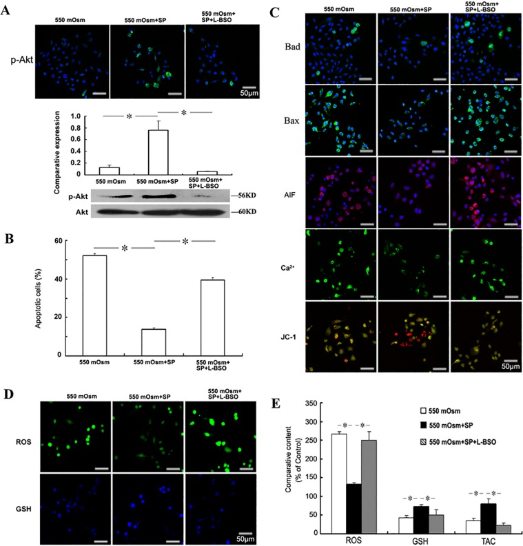 Role of redox regulation in the anti-apoptotic effects of SP. Mouse corneal epithelial cells were treated with 100 μM L-BSO and 1 μM SP 2 h before the addition of glucose for 24 h. The phosphorylation of <t>Akt</t> was evaluated by Immunofluorescence staining or Western blot (A). The apoptosis was evaluated by FACS analysis followed by FITC-Annexin V/PI staining (B), and the detection of Bad, Bax, <t>AIF,</t> Ca 2+ and mitochondrial membrane potential (C). The intracellular ROS and glutathione (GSH) were detected by staining with the fluorescence probes (D) and measured by the fluorescence intensity (E). The cellular total antioxidant capacity (TAC) was measured by the ABTS assay (E).