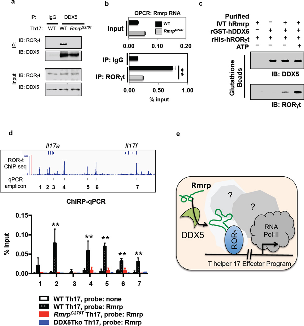 Rmrp localization at RORγt-occupied genes and role in RORγt-DDX5 assembly a , RORγt association with immunoprecipitated (IP) DDX5 in polarized Th17 cells. IB, immunoblot. Representative of three independent experiments. b , Rmrp quantification by qRT-PCR in RORγt immunoprecipitates from polarized Th17 cells. Representative of two independent experiments with two technical replicates. c , Rmrp requirement for ATP-dependent in vitro interaction of recombinant GST-DDX5 and His-RORγt. Representative of three independent experiments. For gel source data (a,c), see Supplementary Figure 1 . d , Rmrp occupancy at RORγt genomic target loci in polarized Th17 cells. Rmrp ChIRP-qPCR amplicons (bottom) are indicated in IGV browser view of RORγt ChIP at the Il17 locus (top). Data from 2–4 experiments with two technical replicates. e , Model for DDX5-Rmrp complex recruitment to RORγt-occupied chromatin in Th17 cells. Graphs show mean ± s.d. ** p