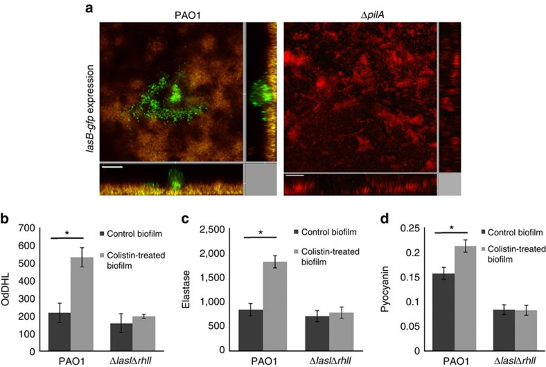 QS-related products are upregulated in antibiotic-tolerant subpopulations in P. aeruginosa biofilms. ( a ) The 72-h biofilms formed by the P. aeruginosa PAO1 and Δ pilA containing the lasB-gfp translational fusion were treated with medium containing 10 μg ml −1 colistin for 24 h followed by CLSM observation. The lasB-gfp translational fusion was induced to high levels in PAO1 colistin-tolerant cells but was not observed in Δ pilA biofilms. Experiments were performed in triplicate, and a representative image for each condition is shown. Live cells appear green, whereas dead cells appear yellow or red. The central images show horizontal optical sections, whereas the flanking images show vertical optical sections. Scale bars, 50 μm. ( b ) Antibiotic-tolerant cells from PAO1 biofilms secreted more OdDHL than untreated biofilm cells. ( c ) Antibiotic-tolerant cells from PAO1 biofilms produced more elastase than untreated biofilm cells. ( d ) Antibiotic-tolerant cells from PAO1 biofilms produced more pyocyanin than untreated biofilm cells. The mean and s.d. from three experiments is shown. * P