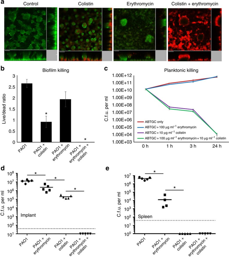 Targeting type IV pili and QS simultaneously leads to eradication of antibiotic-tolerant cells. ( a ) Colistin-tolerant cells formed in PAO1 flow cell biofilms after colistin and erythromycin single treatment and combined treatment. Colistin-tolerant cells were unable to form in PAO1 biofilms after combined erythromycin+colistin treatment. Experiments were performed in triplicate. Live cells appear green and dead cells appear red. Scale bars, 50 μm. ( b ) Live/dead ratios were calculated based on CLSM images. The mean and s.d. from five experiments is shown for in vivo biofilms. * P