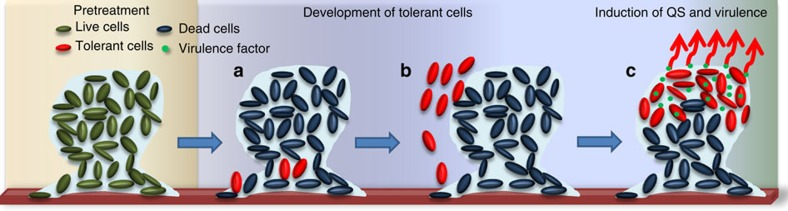 Model of antibiotic-tolerant cell formation in P. aeruginosa biofilms. ( a ) Antibiotics such as colistin treatment kill most of the cells in the biofilms, but leave a few antibiotic-tolerant cells at the bottom of the biofilm. ( b ) Antibiotic-tolerant cells expand in numbers and migrate to the top of the biofilm using pilus-mediated motility. ( c ) Assemblies of antibiotic-tolerant cells induce QS that leads to the production of QS-related virulence factors, such as elastase and pyocyanin. A new antibiotic-tolerant biofilm is formed.