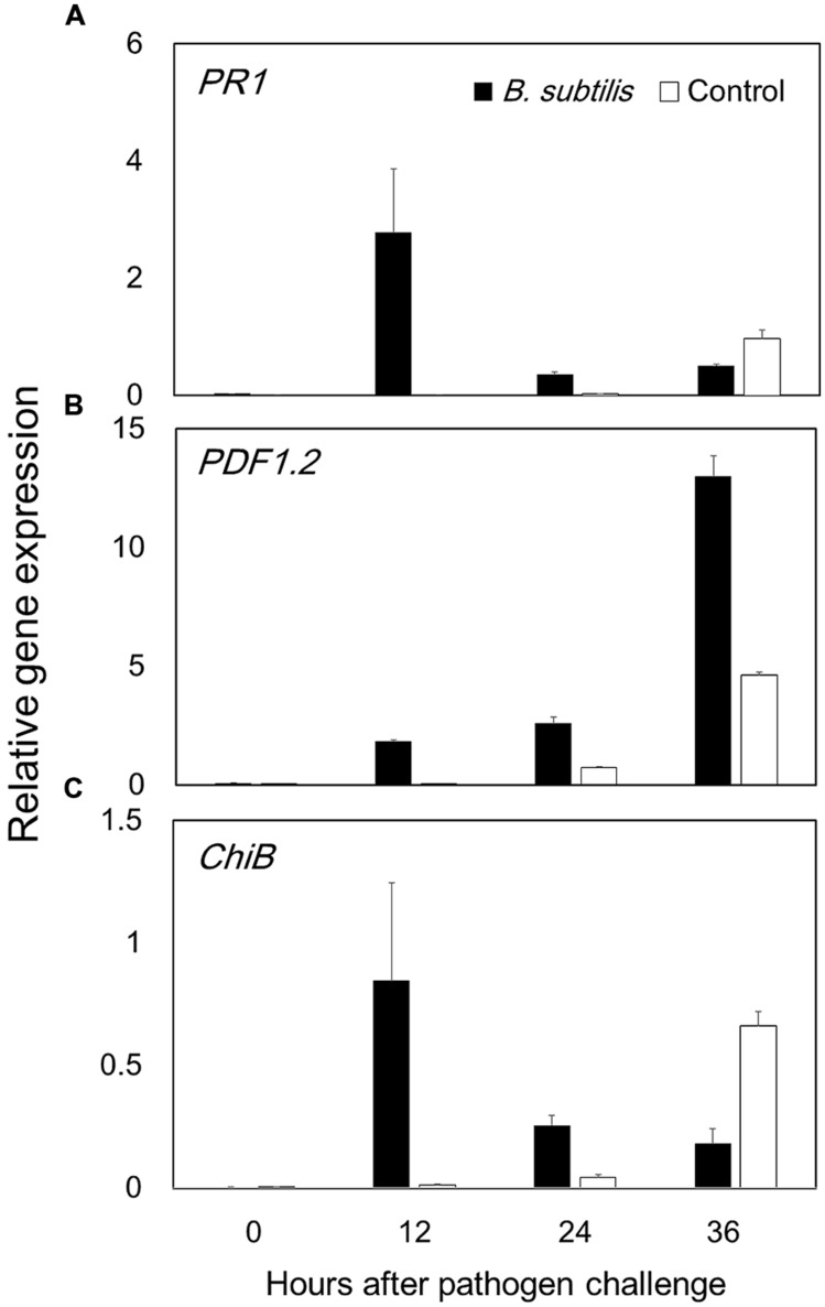 Bacillus subtilis GB03 volatile compounds elicit Arabidopsis defense priming of the jasmonic acid and salicylic acid signaling pathways. Defense priming gene expression levels were measured by time-course qRT-PCR analysis of (A) PR1 in the salicylic acid signaling pathway, (B) PDF1.2 in the jasmonic acid signaling pathway, and (C) ChiB in the ethylene signaling pathway (C) . The ratio of gene expression in the B. subtilis GB03-treated plants versus that in the water-treated control relative to expression of the Actin gene is computed as the mean ± SEM. Different letters indicate significant differences between treatments (A,B) according to Fisher's LSD test at P = 0.05.