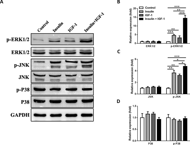 Insulin/IGF-1 activates ERK1/2 and JNK signaling of colon cancer cells in vitro . MC38 cells were cultured with insulin and IGF-1 alone or both together for 72 hours and then collected for western blotting analysis. Control groups were treated with PBS. (A) Western blotting analysis of p-ERK1/2, ERK1/2, p-JNK, JNK, p-P38 and P38 protein expression in treated cells. GAPDH served as a loading control. The blots shown are representative of three separate experiments. Semi-quantitation for the expressions of (B) ERK1/2 and pERK1/2, (C) JNK and p-JNK, (D) P38 and p-P38 proteins. Fold changes were normalized by control groups. *P