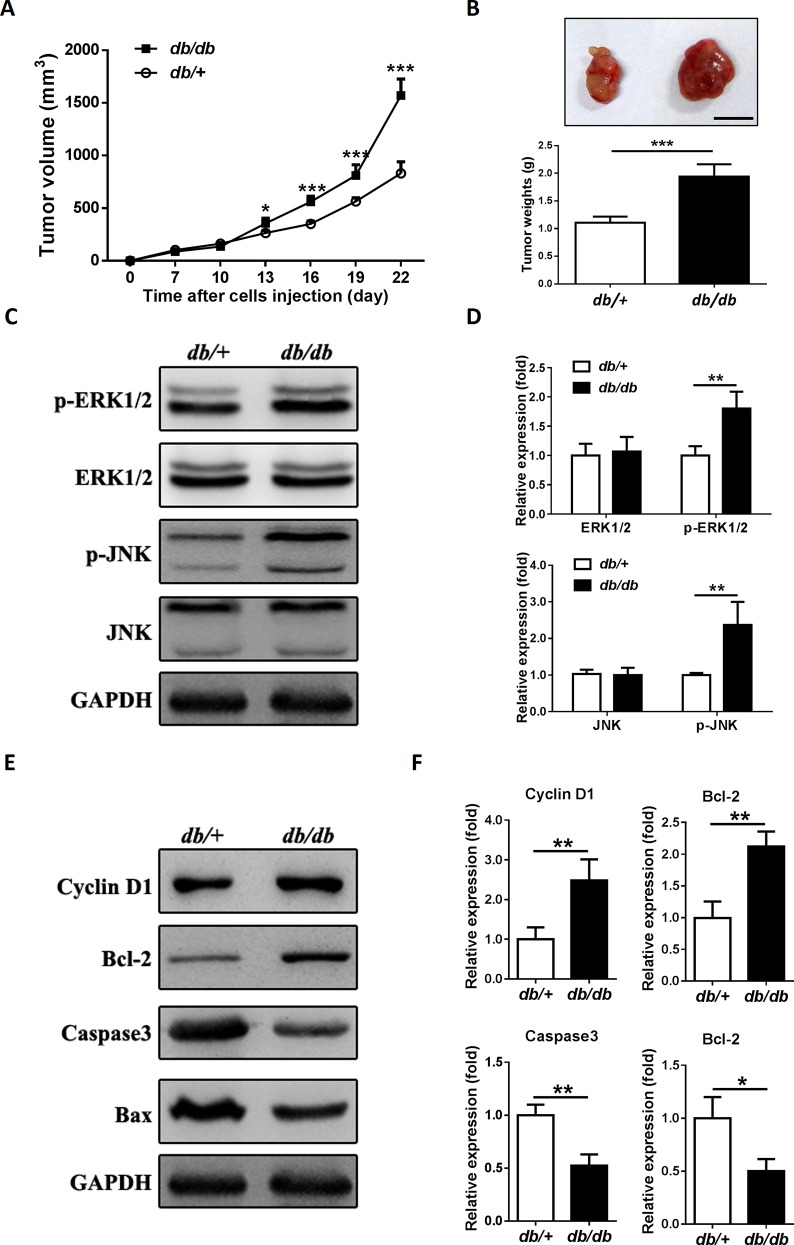 Endogenous insulin/IGF-1 accelerates colon tumor growth in a mouse type 2 diabetes model. 2 × 10 6 MC38 cells suspended in 0.1 ml of PBS were subcutaneously injected into the db/db and db/+ mice to initiate tumor growth in vivo . (A) Tumor size was measured every 3 days. *P