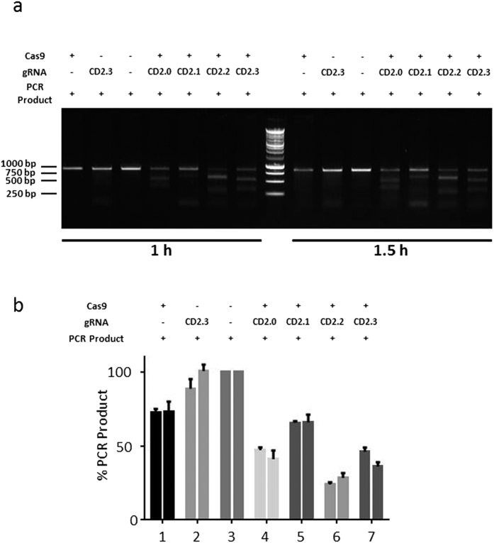Functional analysis ( a ) In vitro test of gRNA efficiency. gRNA(CD2.0) as well as three controls (CD2.1,CD2.2, CD2.3) were incubated with a PCR product for the indicated period of time. Digests were separated on an agarose gel. ( b ) Analysis of the gRNA efficiency. The intensities of the bands resulting from gRNA/Cas9-digested PCR product of three different experiments were analyzed using ImageJ. Shown is the mean and standard error of the mean.