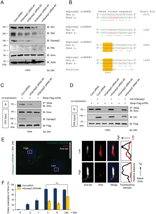 Gprasp2 is required for ciliary localization of Smo and Shh target gene activation. ( A ) Shh-induced protein levels after 48h of siRNA-mediated knock-down of Gprasp2 in PLCs. ( B ) Mouse Gprasp2 siRNA target sequences with Multiple species ClustalW alignment to human and mouse Gprasp2 and indicated siRNA seed region position. Determination of Smo-Pifo complex formation after depletion of mGprasp2 ( C ) and rescue of mGprasp2 depletion by introducing hGPRASP2 ( D ). 48h post-transfection with the indicated siRNA duplexes or co-transfection with the indicated siRNA duplexes and HA-tagged hGPRASP2, PLCs were stimulated with Shh and the lysates were subsequently subjected to Strep-Tactin sepharose-coupled mPifo. Input (10%) and endogenous Smo protein complexes were determined by immunoblotting with the indicated antibodies. Representative confocal image ( E ) and quantification ( E , F ) of endogenous ciliary Smo after 48 h of siRNA-mediated depletion of mGprasp2 in PLCs. Note that levels of Alexa Fluor 488 (high and low) correlates with different Gprasp2 knock-down efficiency. Scale bar = 25 μm. > 100 cilia per condition were analyzed. All error bars indicate the mean ± SD of three independent experiments. Data were analyzed using a two tailed unpaired t -test (** = p