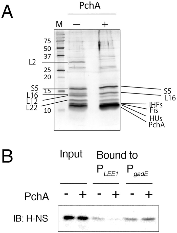 Reconstruction of the nucleoprotein complex on the LEE1 promoter. Protein crude extract was prepared from W3110 harboring pTB101 (-pch) or from pTB101- pch -FLAG (+pch) and was incubated with a DNA fragment of the LEE1 promoter immobilized on magnetic beads. A. Bound proteins were separated by <t>SDS-PAGE</t> and were visualized by silver staining, and major proteins were identified by LC-MS/MS. B. H-NS in the DNA-bound samples. H-NS in samples of the LEE1 promoter DNA (P LEE1 )-bound proteins (Bound) and crude protein extract (Input) were examined by immunoblotting using anti-H-NS antiserum. As a control, gadE promoter DNA (P gadE ) was used to isolate promoter bound proteins from the same extracts.
