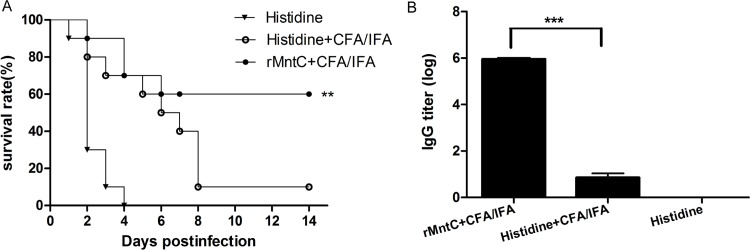The survival rates and antibody titres of rMntC vaccine. The survival rates of rMntC vaccine (with CFA/IFA as adjuvant), CFA/IFA adjuvant alone, and histidine buffer as control, challenged for BALB/c mice ( n = 10) by S . aureus strains MRSA252 (A). The titres were determined by ELISA for IgG (B). The survival analyses and comparison of rMntC vaccine and adjuvant control were calculated separately by a log rank test. The asterisks represent a statistically significant difference (** P