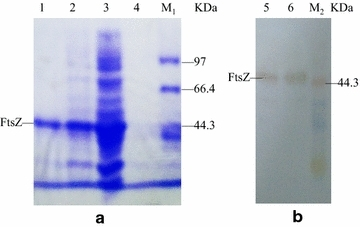 Analysis of the process for FtsZ expression and purification by SDS-PAGE ( a ) and western blotting analysis of the purified FtsZ ( b ). The FtsZ was expressed in E. coli BL21 (DE3)/pET22b- ftsZ induced by 0.6 mM IPTG at 37 °C for 3 h. Lane M 1 and M 2 protein Marker; lane 1 purified FtsZ via Ni-NTA agarose column; lane 2 supernatant after ultrasonication under induced conditions; lane 3 total protein under induced conditions; lane 4 supernatant of broth under induced conditions; lane 5 supernatant of lysed E. coli BL21 cells containing pET-22b- ftsZ ; lane 6 purified FtsZ via Ni-NTA agarose column. The migration difference of the 44.3 kDa protein between ( a ) and ( b ) is due to gel electrophoresis with different pulse time