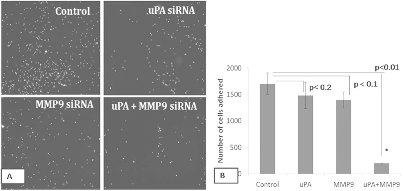 The MDA-MB-231 cells were transfected with respective siRNAs and allowed to adhere on the Matrigel coated wells for 2 hrs. ( A ) Adhered cells were stained with DAPI and photomicrographs were taken under fluorescence microscope using UV filter ( B ) The number of the adhered cells were counted. Control indicates the cells were not transfected with either of the uPA and <t>MMP9</t> siRNA. (Data are representative of three independently performed experiments and are expressed as mean ± SD).