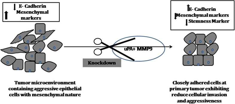 Schematic diagram showing the model of simultaneous knockdown of uPA and MMP9 in breast tumor. The tumor micro-environment is represented by the presence heterogeneous cell populations – mainly epithelial cells with mesenchymal nature along with other cell types. Aggressive tumor with invasive cells may be dislodged by the reduce expression of E-cadherin. Thus, after simultaneous knockdown of uPA and MMP9, higher expression of E-cadherin and lowering of mesenchymal and stem cell marker may reduce the cellular invasion and tumor aggressiveness.
