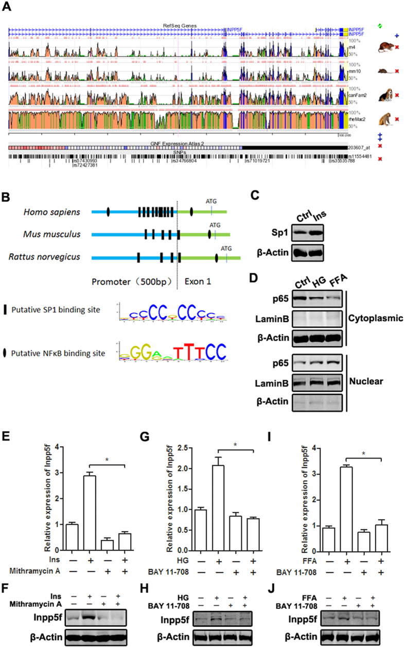 Insulin, high glucose and FFA increase Inpp5f expression by different transcription factors. ( A ) Comparison of the gene sequences of Inpp5f among different species using web-based ECR (see article in ref. 35 ). ( B ) The 500 bp promoter region and the first exon of Inpp5f in different species were screened for the putative Sp1 and NF-κB binding sites by JASPAR web (see article in ref. 36 ). ( C ) Serum starved H9C2 cells were treated with Insulin and expression of Sp1 was tested by Western blot. ( D ) H9C2 cells were treated with HG or FFA for 24 hrs, p65 nuclear translocation was analyzed by western blot in cytoplasmic and nuclear extract respectively. ( E,F ) H9C2 cells were treated with insulin, Sp1 inhibitor or the combination. Inpp5f expression at mRNA ( E ) and protein levels ( F ) was examined by qPCR and Western Blot. *P