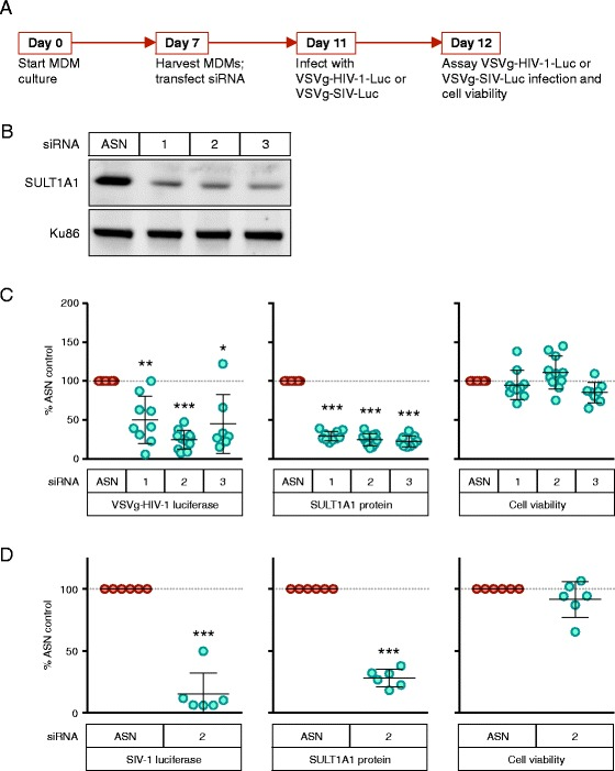 SULT1A1 knockdown is associated with decreased viral gene expression following infection of MDMs with VSV-G pseudotyped HIV-1 and SIV vectors. a Schematic showing experimental timeline. Briefly, <t>CD14+</t> monocytes were isolated from human donor <t>PBMCs</t> using positive selection with magnetic beads. Monocytes were differentiated into MDMs and on day 7 were electroporated with siRNA and plated at 1.5 × 10 4 MDMs per well in a 48 well plate. After 96 h, protein knockdown was confirmed by immunoblot and cells were infected with 100 μl (corresponding to 164 ng p24 HIV-1 and 234 ng p27 SIV viral vectors) of the indicated virus. Luciferase and cell viability measurements were determined at 24 h post-infection. b Representative immunoblot showing SULT1A1 knockdown 96 h post transfection with SULT1A1 siRNAs (1–3) and AllStars Negative siRNA Control (ASN), Qiagen. SULT1A1 expression is compared to endogenous Ku86 used as a loading control. Results from one representative donor are shown. SULT1A1 expression was generally decreased by 70–80 % with siRNA treatment compared to the control ASN siRNA (as shown in Fig. 2c, middle panel). c HIV-1 luciferase reporter expression ( left panel ), SULT1A1 protein expression ( middle panel ), and cell viability of MDMs ( right panel ) were measured 24 h after infection with the VSV-G pseudotyped NL43-Luc HIV-1 vector. Results shown are from 6 donors assayed twice. All values were compared to ASN control. d SIV-1 luciferase reporter expression (left panel), SULT1A1 protein expression ( middle panel ), and cell viability ( right panel ) for MDMs 24 h post infection with VSV-G-pseudotyped SIVagm-Luc. Mean and SD shown, *** p