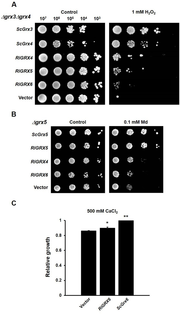 Complementation of the sensitivity to external oxidants of the grx yeast mutants by the R . irregularis GRX genes. A. Effect of RiGRX4 , RiGRX5 and RiGRX6 expression on the sensitivity of the Δgrx3Δgrx4 strain to 1 mM hydrogen peroxide (H 2 O 2 ). B. Effect of RiGRX4 , RiGRX5 and RiGRX6 expression on the sensitivity of the Δgrx5 strain to 0.1 mM menadione (Md). The photographs were taken after 3 days of growth at 30°C. C. Effect of RiGRX6 expression on the sensitivity of Δgrx6Δgrx7 to 500 mM CaCl 2 (40 h). Data are means of three independent experiments +/- standard error and represent the growth yield ratio between treated and untreated cultures and then made relative to this ratio in cells expressing the S . cerevisiae Grx6 . Asterisks show statistically significant differences (p