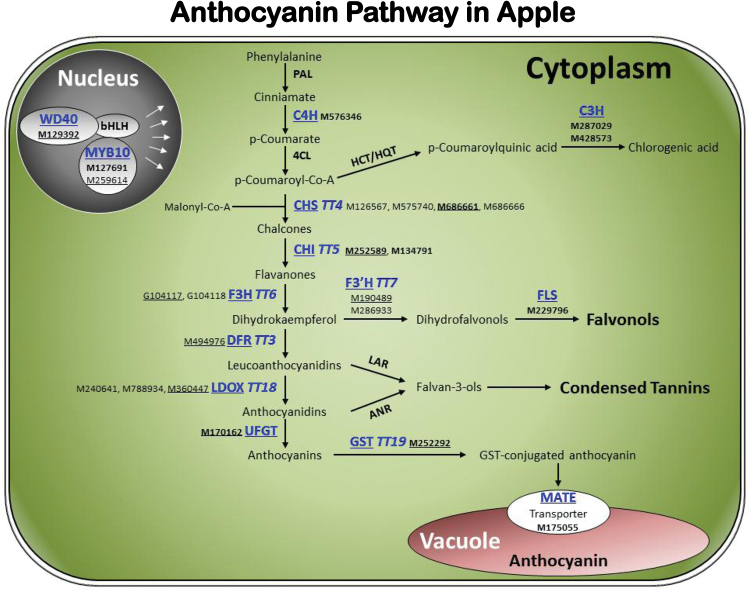 Diagram of the flavonoid/anthocyanin pathway assigned with 24 genes from the WGCNA module 'Pink'. The proteins with names shown in blue and underlined are encoded by the 24 genes, including 12 previously characterized (in regular font) and 12 newly identified in this study (in bold font). Genes with IDs underlined were chosen for qRT-PCR assays. Please refer to the abbreviation section for the full names of proteins or genes abbreviated in the figure. This figure is available in colour at JXB online.