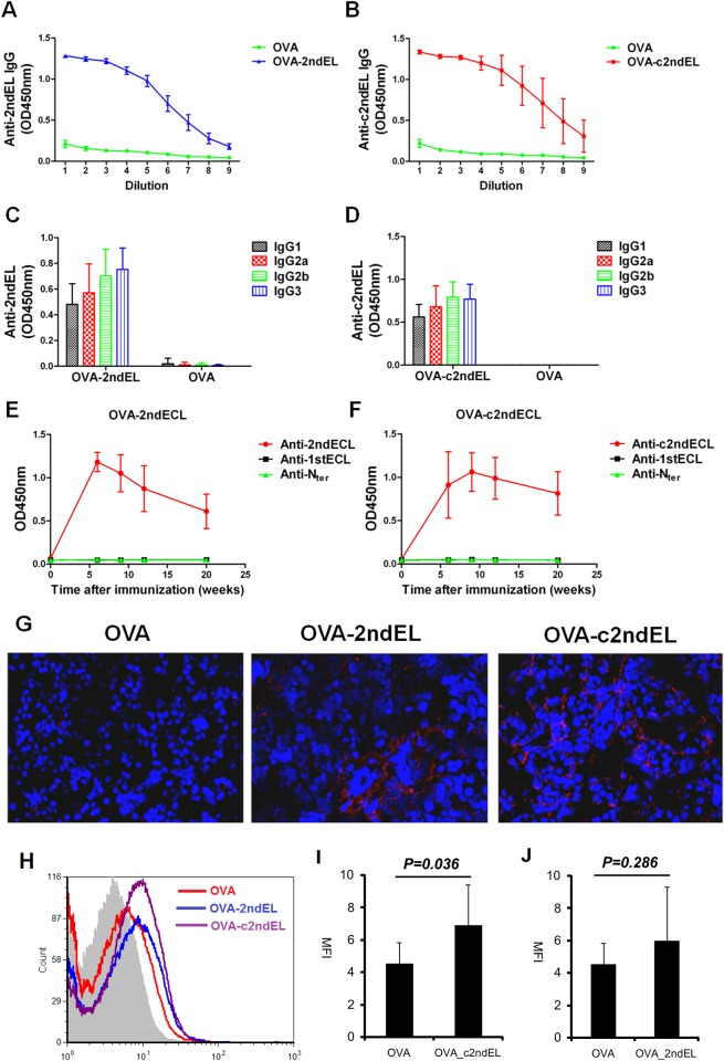 Induction of autoantibodies against peptides of the second extracellular loop of M3R in mice. Mice were immunized with the M3R-peptides OVA_2ndEL (A, C, E), OVA_2ndEL (B, D, F), or with the OVA peptide control. Antibodies in sera of immunized mice were tested for their binding to immobilized peptides. The titer of total <t>IgG</t> against 2ndEL (A, n = 4 per group) and c2ndEL(B, n = 4 per group) was determined in serum (the dilution factor as depicted) of mice 20weeks after immunization. The subclass of bound IgG, including IgG1, IgG2a, IgG2b and IgG3 against 2ndEL (C) and c2ndEL(D) was determined in samples analyzed in parallel. E and F represent time kinetics of autoantibody production against different peptides of M3R including N terminal (N ter ), the first extracellular loop (1stEL) and the second extracellular loop (2ndEL or c2ndEL) in E) mice immunized with OVA_2ndEL peptide (n = 23)and controls (n = 15) or F) mice immunized with OVA_c2ndEL peptide (n = 8) and control (8). (G) Representative picture showing the IgG-deposition on salivary gland tissue of mice immunized with OVA-2ndEL, OVA-c2ndEL or OVA peptides. The IgG binding was detected by using direct immunofluorescence using DyLightTM649 Goat-anti-Mouse IgG antibody. (H) Representative FACS histogram showing the binding of IgG from OVA, OVA_2ndEL or OVA_c2ndEL immunized mice onto the primary murine salivary gland cells. Primary murine salivary gland cells were incubated with 1:200 diluted sera from OVA (n = 8), OVA_2ndEL (n = 8) or OVA_c2ndEL (n = 8). The bound IgG were detected by <t>Alexa</t> <t>Fluor</t> 568 conjugated goat-anti-mouse IgG. (I and J) Quantified IgG bound onto primary murine gland cells. All data are presented as mean±SD. P values were calculated using Student's t test.