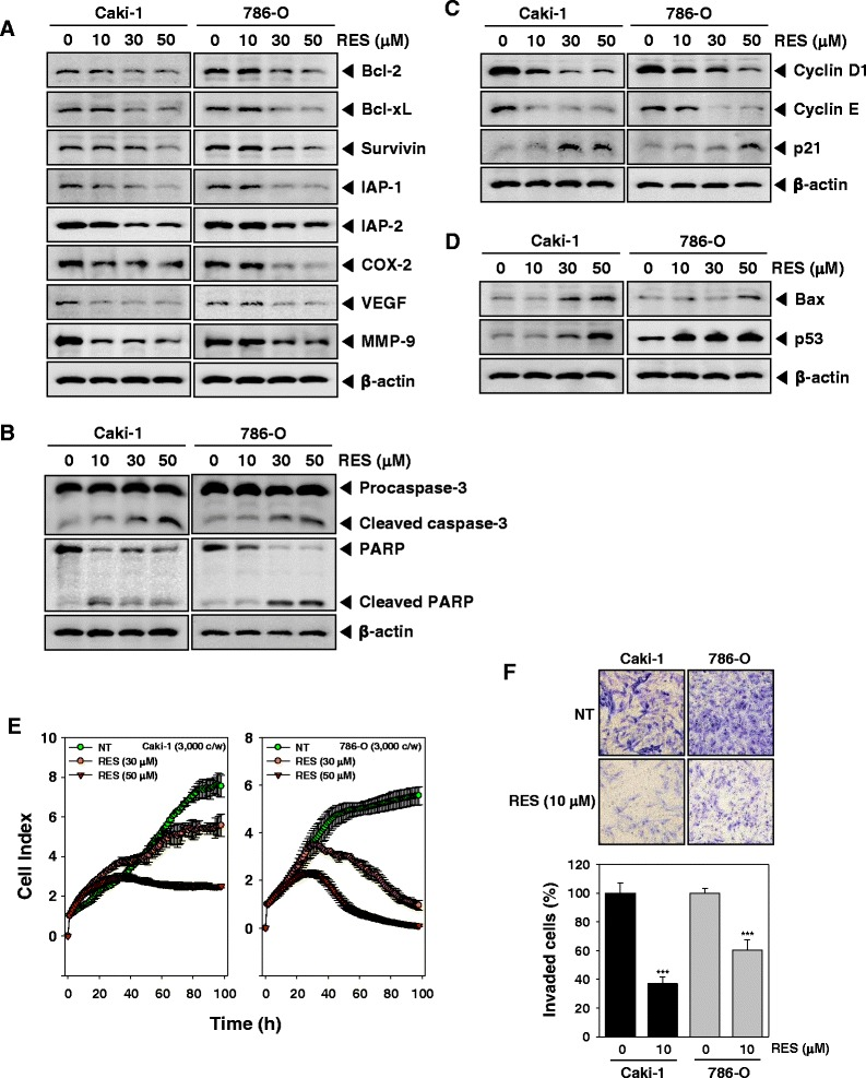 "RES suppresses expression of various proteins involved in anti-apoptosis, proliferation, and angiogenesis. a - d After Caki-1 and 786-O cells (1 × 10 6 cells/well) were incubated with the indicated various concentrations of RES for 24 h. Whole-cell extracts were prepared, and 20 μg of the whole-cell lysate was resolved by SDS-PAGE, electrotransferred to nitrocellulose membrane, and then probed with antibodies against bcl-2, bcl-xL, survivin, IAP1/2, COX-2, VEGF, MMP-9, caspase-3, PARP, cyclin D1, cyclin E, p21, Bax, and p53 as described in ""Materials and methods."" The same blots were stripped and reprobed with β-actin antibody to verify equal protein loading. The results shown here are representative of three independent experiments. e Cell proliferation assay was performed using the Roche xCELLigence Real-Time Cell Analyzer (RTCA) DP instrument (Roche Diagnostics GmbH, Germany) as described in ""Material and methods"". After Caki-1 and 786-O cells (5 × 10 3 cells/well) were seeded onto 16-well E-plates and continuously monitored using impedance technology. f Caki-1 and 786-O cells were added to the upper side of the invasion chamber, the cells on the upper surface of the filter were removed after 24 h of incubation in the presence or absence of 10 μM of RES. The cells on the lower surface were fixed, stained and monitored by photographing, then counted. Randomly chosen fields were photographed under a light microscope at 100× magnification and invaded cells were counted"