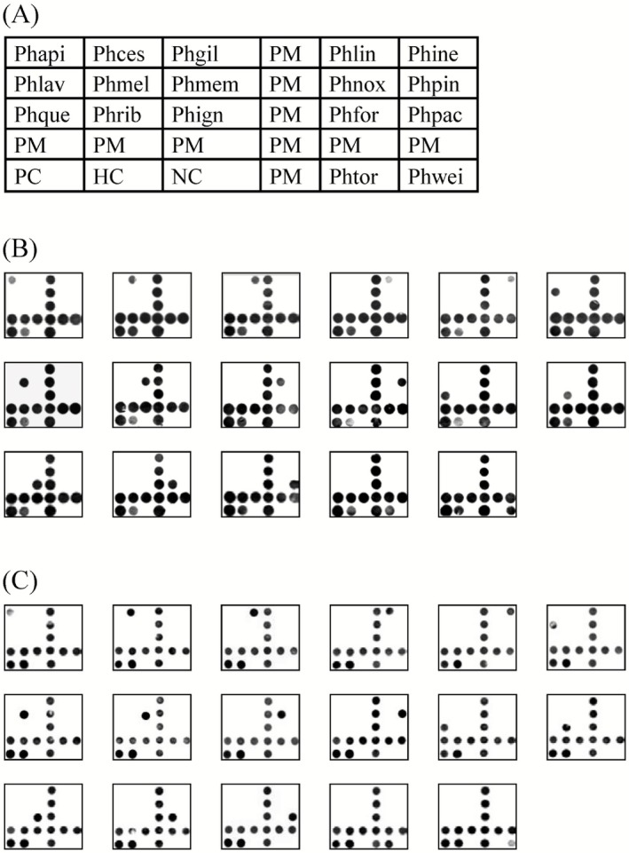 Arrangement and reverse dot‐blot hybridization results of the P hellinus oligonucleotide microarray. A. Arrangement of P hellinus species‐specific probes on microarrays. P hapi: P hellinus apiahynus ; P hces: P . cesatii ; P hgil: P . gilvus ; P hlin: P . linteus ; P hine: P . inermis ; P hlav: P . laevigatus ; P hmel: P . melleoporus ; P hmem: P . membranaceus ; P hnox: P . noxius ; P hpin: P . pini ; P hque: P . quercinus ; P hrib: P . ribis ; P hign: P . igniarius ; P hfor: P . formosanus ; P hpac: P . pachyphloeus ; P htor: P . torulosus ; P hwei: P . weirii ; PM : position marker labelled with O ligo‐( dT )10; HC : hybridization control; PC : positive control. B. Reverse dot‐blot hybridization of biotin‐primer‐labelled amplicons from target reference strains to probes on nylon membrane. C. Reverse dot‐blot hybridization of DIG ‐primer‐labelled amplicons from target reference strains to probes on PVC chip.