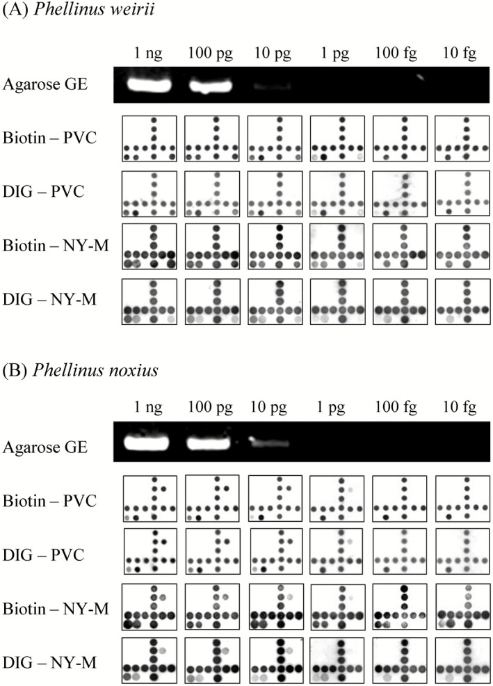 Sensitivity analysis of the P hellinus microarray. Agarose gel electrophoresis ( GE ) and reverse dot‐blot hybridization against microarrays were performed with PCR ‐amplified (A) P . weirii or (B) P . noxius ITS primers that were serially diluted to derive samples respectively containing 1 ng, 100 pg, 10 pg, 1 pg, 100 fg or 10 fg of starting DNA . Biotin – PVC : Biotin‐labelled primer amplicons hybridized to probes on PVC chip; DIG – PVC : DIG ‐labelled primer amplicons hybridized to probes on PVC chip; Biotin – NY‐M : Biotin‐labelled primer amplicons hybridized to probes on nylon membrane; DIG – NY‐M : DIG ‐labelled primer amplicons hybridized to probes on nylon membrane.