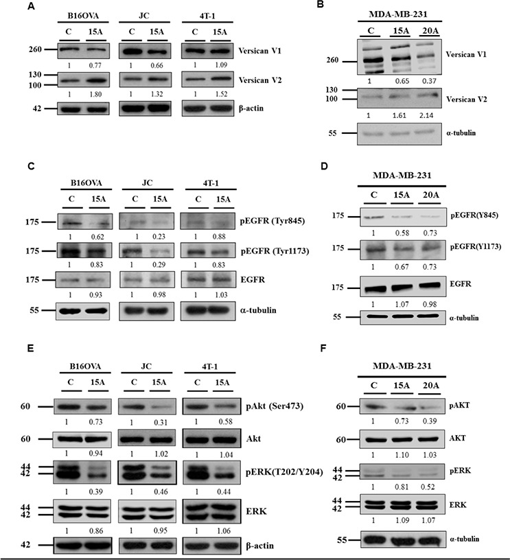 Amiodarone can induce Versican V2 expression, inhibit EGFR signaling and downstream AKT and ERK signaling Mouse tumor cells B16OVA, JC and 4T-1 cells A, C, E. and Human breast cancer cells MDA-MB-231 B, D, F. were treated with 15 uM or 20 μM Amiodarone (15A or 20A) for 24 hr and analyzed for Versican V1, V2 A, B, pEGFR (Tyr845), pEGFR (Tyr1173), EGFR C, D. pAKT (Ser473), AKT, pERK (T202/Y204) and ERK E, F. The relative intensities of each protein among control group (C) and Amiodarone-treated cells (15A) were as indicated. β-actin, and α-tubulin, were used as internal control.