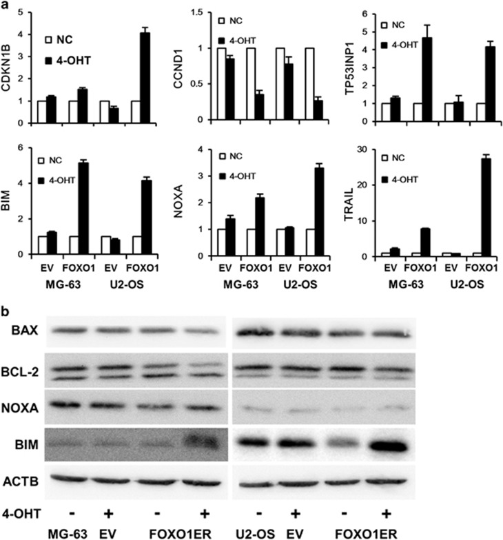 FOXO1 regulates target gene expression. MG-63 and U2-OS cells expressing FOXO1ER or empty vector were treated with 100 n M 4-OHT or vehicle. One day later, cells were harvested, mRNA and protein was prepared. ( a ) CDKN1B, CyclinD1, TP53INP1, BIM, NOXA and TRAIL mRNA expression was assessed. EV indicates empty vector. The data represent mean±s.d. of least three experiments. ( b ) The expression of BAX, BCL-2, NOXA and BIM protein was detected by immunoblotting. Anti-ACTB antibody was used as a loading control.