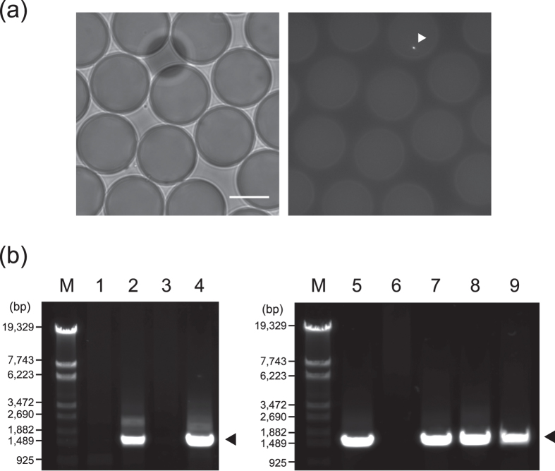 Isolation and genome amplification of bacteria exhibiting BGL activities from surface and deep seawater. ( a ) Bright-field ( left ) and fluorescence ( right ) images of W/O microdroplets encapsulating environmental bacteria with FDGlu. The white arrowhead shows a fluorescent bacterial cell in a W/O microdroplet. Scale bar represents 20 μm. ( b ) PCR amplification of 16S rRNA genes from MDA products. The amplicons were analysed with 1% agarose gel electrophoresis and stained with SYBR Safe. The estimated amplicon size is approximately 1,466 bp. Lane M, DNA marker (λ- Eco T14 I digest); lane 1–4, MDA products from surface seawater (Droplet No. 1–4), lane 5–9, MDA products from deep seawater (Droplet No. 5–9).