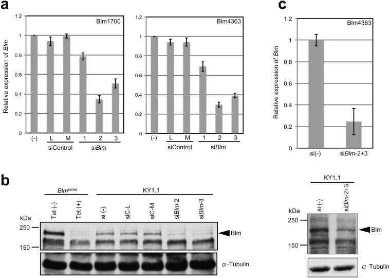 Blm was knocked down by siRNAs. a) 20 nM of each Blm siRNA was transfected into KY1.1. At 48 h after transfection, the Blm mRNA level was measured by quantitative RT-PCR using two primer sets. b) The expression level of Blm protein was determined by western blot. Blm is indicated by an arrowhead. As a control for Blm knockdown, the Blm conditional knockdown ESC line, Blm tet/tet [ 14 ], was used. Tubulin was used as an internal control for protein content. Si (–), no siRNA; siC-L, siRNA Negative Control Low Duplex; siC-M, Medium Duplex; Tet, Tetracycline c. Blm was knocked down by a mixture of siBlm-2 and siBlm-3 in KY1.1. This protocol was used for the gene targeting experiments. Blm expression was determined by quantitative RT-PCR (upper panel) and western blot (lower panel). All data are presented as the mean ± SE.