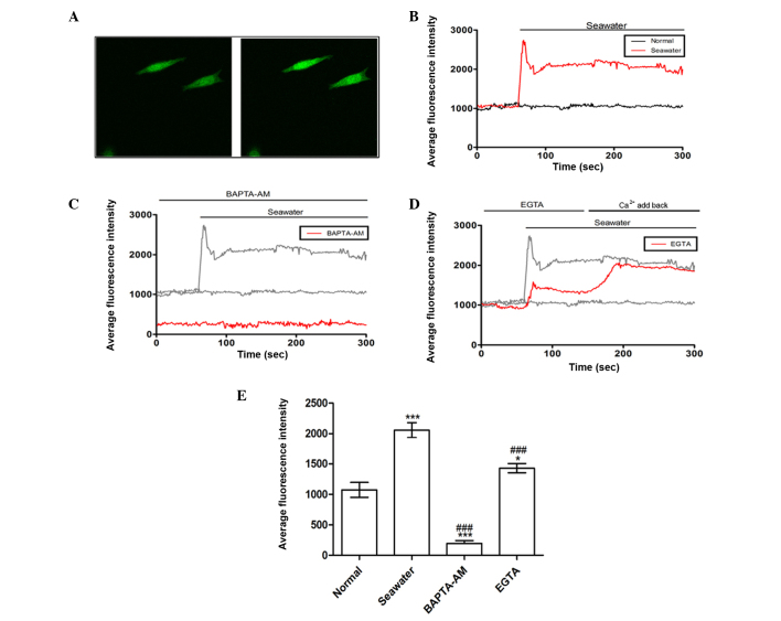 Effect of seawater exposure on the average fluorescence intensity in A549 cells. (A) Seawater exposure evoked a rapid fluorescence intensity increase that represented [Ca 2+ ]c elevation. Left panel, A549 cells without stimulation; right panel, A549 cells exposed to seawater. (B) Quantification of fluorescence intensity following seawater treatment. (C) Pretreatment with <t>BAPTA-AM</t> may reverse the elevation of [Ca 2+ ]c. (D) Chelation of calcium with <t>EGTA</t> reduced the rise of [Ca 2+ ]c triggered by seawater. (E) Average fluorescence intensities for all groups. * P
